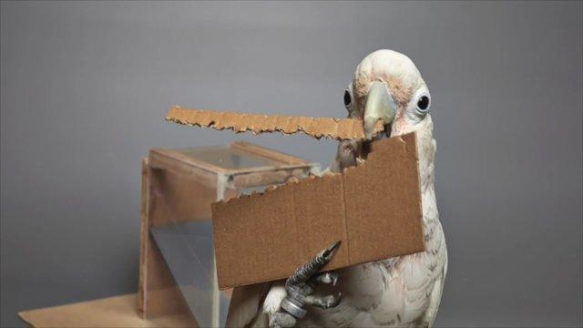 طوطی های کاکلی با مقوا ابزار می سازند